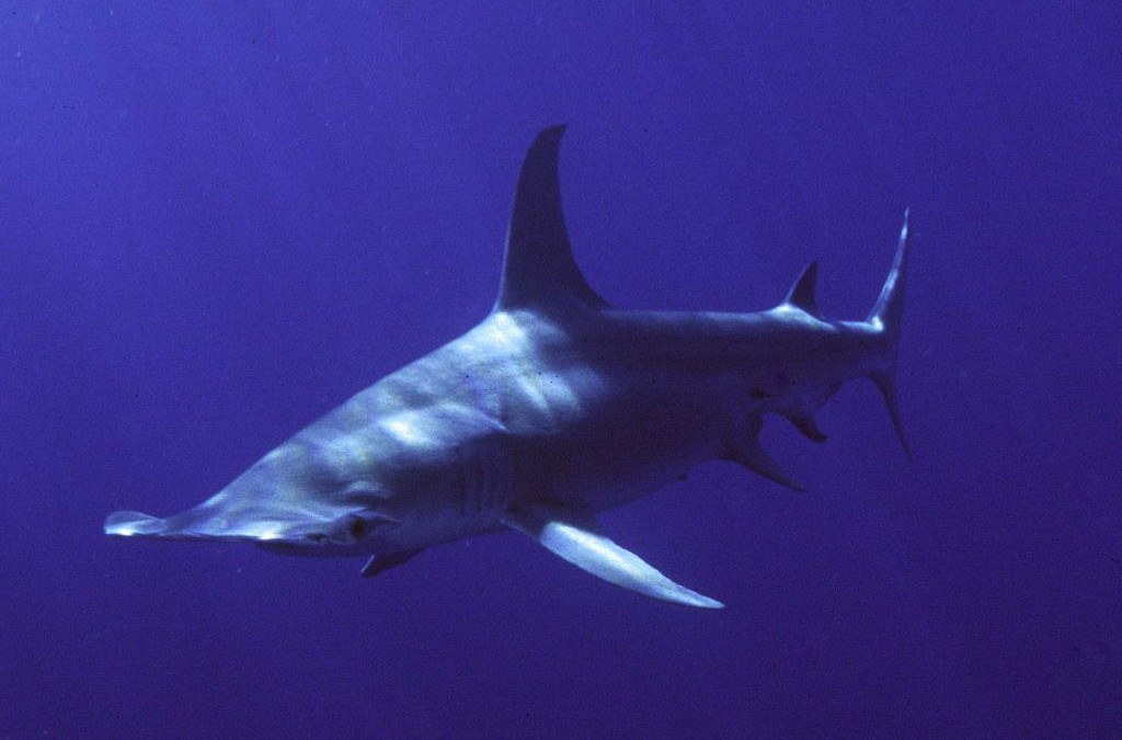 Scientists Track Great Hammerhead Shark Migration
