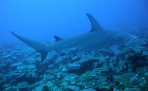 shark-NOAA