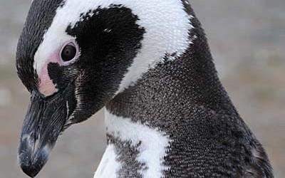 Plight of the Magellanic Penguin