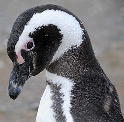 Plight of the Magellanic Penguin